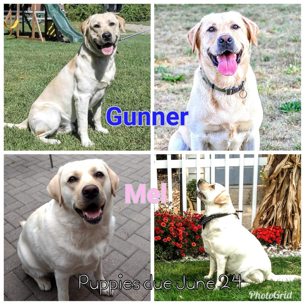 Mother Pupper Labradors – Mother Puppers